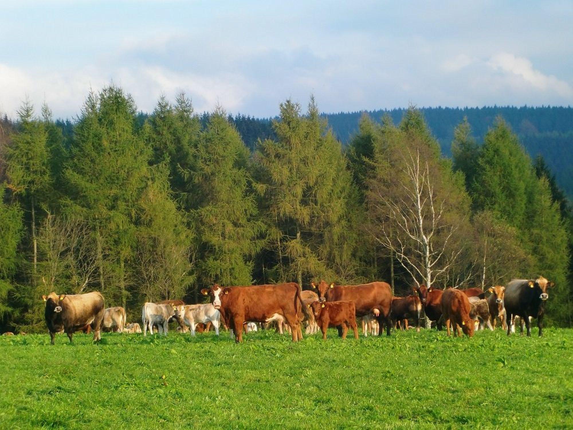 Kuhherde und Rübenauer Wald